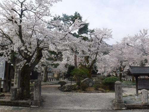 koutokuennnosakura  (2) - コピー.JPG