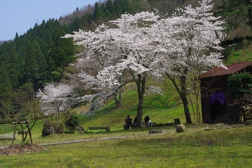 asakuraiseki sakura (1).JPG