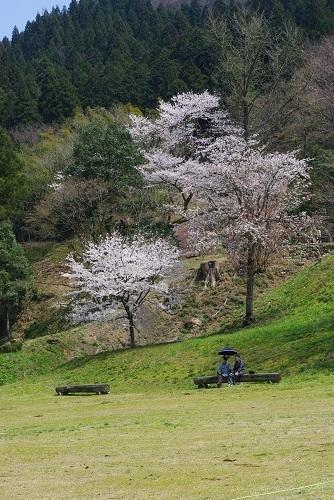 asakuraiseki sakura (3).JPG
