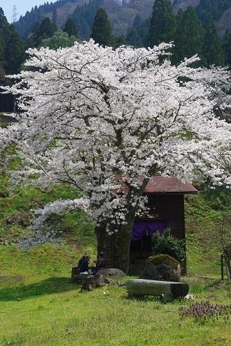 asakuraiseki sakura (4).JPG