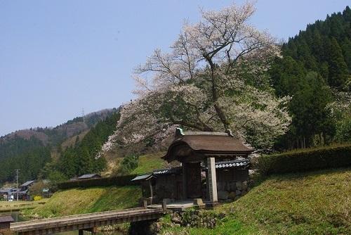 asakuraiseki sakura (5).JPG