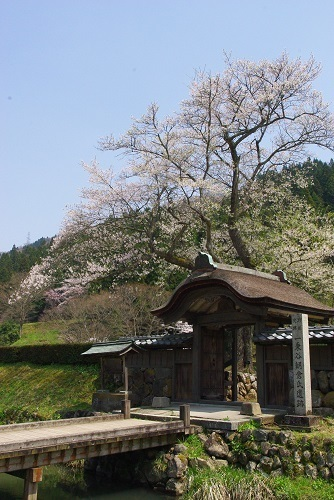 asakuraiseki sakura (6).JPG