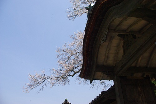 asakuraiseki sakura (9).JPG