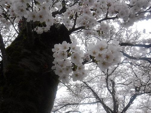benntennzakura 04-05 (12).JPG