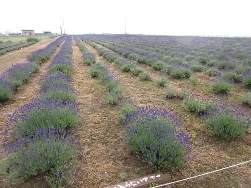 lavender  (2) - コピー.JPG