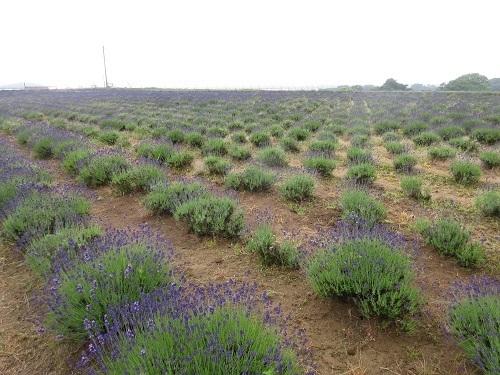lavender  (5) - コピー.JPG