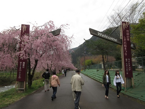 shidarezakura  (1).JPG