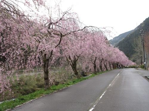 shidarezakura  (2).JPG
