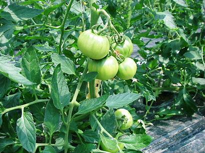 tomato 08-001.JPG